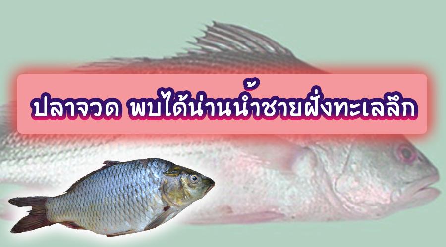 ปลาจวด